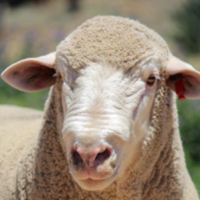 Rosemere Prime SAMMs-sheep-Australian Dormers